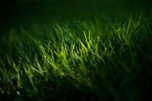 Gras, Rasen