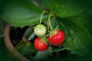 Garten im Sommer, Erdbeere