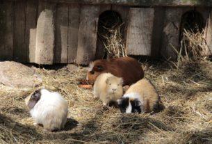 Meerschweinchen Familie im Garten